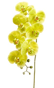 Phalaenopsis Spray Green 42in